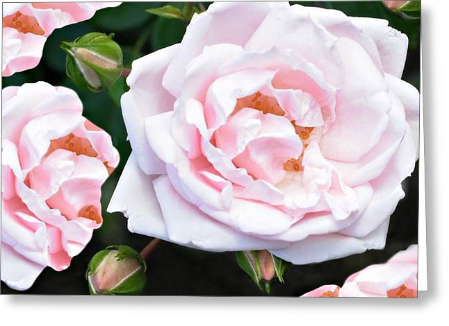 Rose Encounters Greeting Card by Diana Angstadt