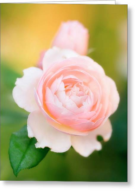 Rose Flowers (rosa Hybrid) Greeting Card