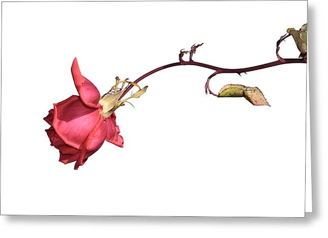 Rose For Isabel Greeting Card