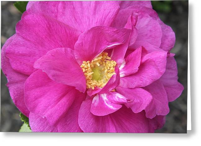 Greeting Card featuring the photograph Rose by Gene Cyr
