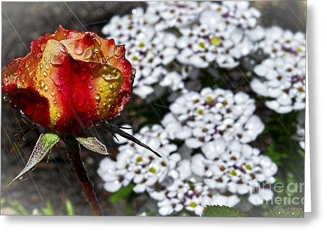 Rose In Rain Greeting Card by Dianne Phelps