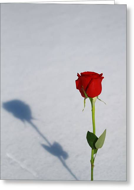 Rose In Snow Spring Approaches Greeting Card by Dan Sproul