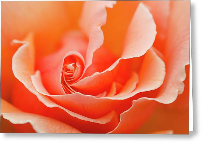 Rose 'just Joey' Creative Abstract Greeting Card by Nigel Downer
