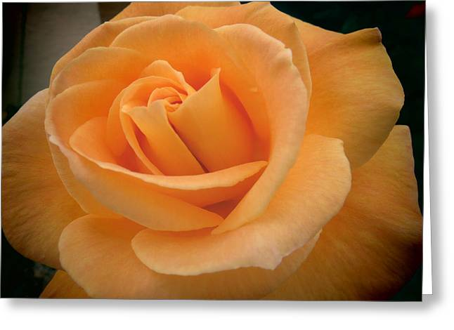 Greeting Card featuring the photograph Rose by Laurel Powell