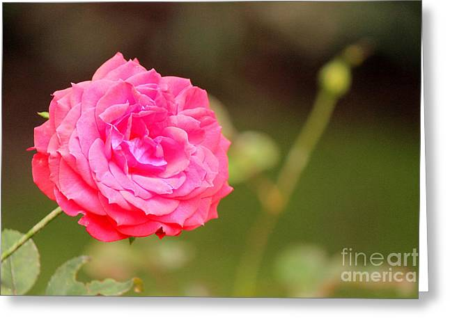 Rose Greeting Card by Manuel Bonilla Photography