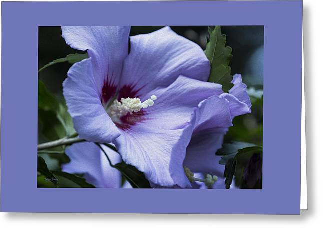 Rose Of Sharon Greeting Card by Rebecca Samler