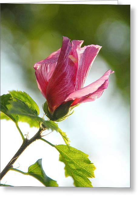 Greeting Card featuring the photograph Rose Of Sharon by Susan D Moody