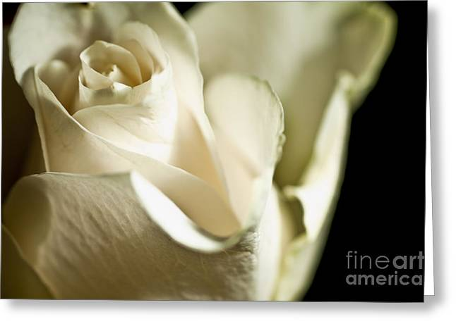 Rose Of White 7 Greeting Card by Micah May