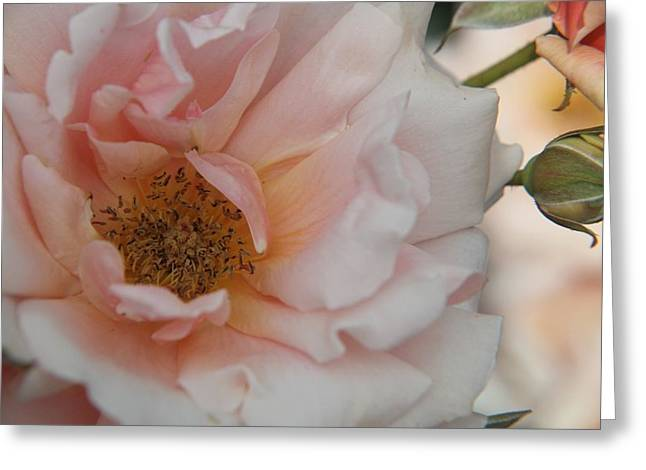 Rose - One Of A Kind Greeting Card by Dervent Wiltshire