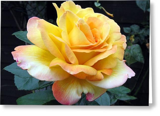 Rose Peace Greeting Card