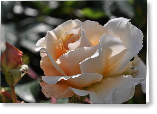 Greeting Card featuring the photograph Rose Pegasus by Sabine Edrissi