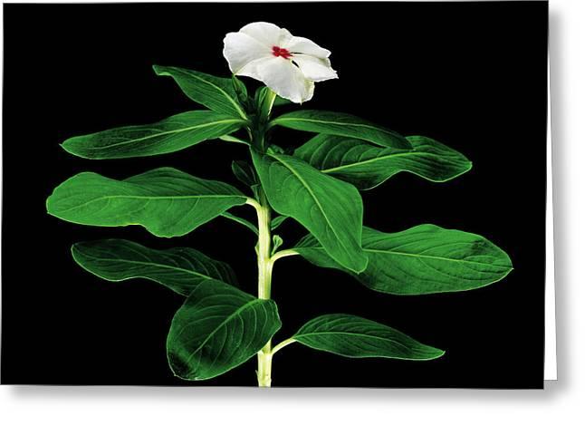 Rose Periwinkle (catharanthus Roseus) Greeting Card by Gilles Mermet