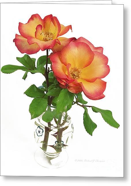 Rose 'playboy' Greeting Card