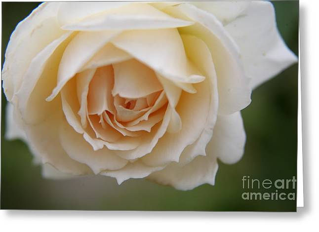 Rose... Pure And Simple  Greeting Card by Lynn England