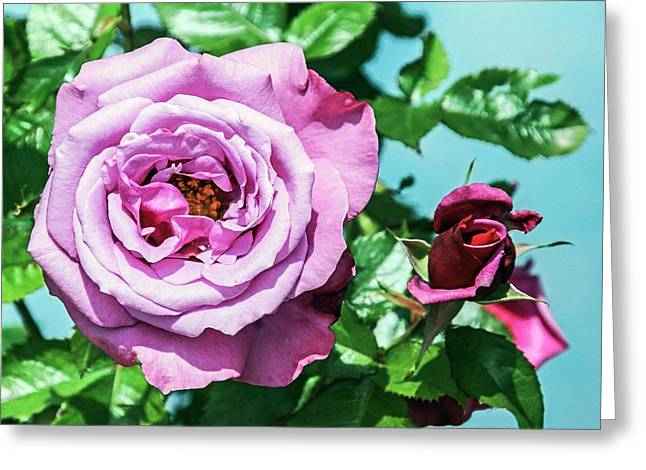 Rose (rosa 'barbra Sterisand') Greeting Card by Brian Gadsby