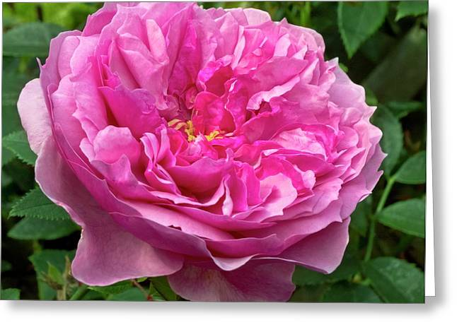 Rose (rosa 'cessa') Flower Greeting Card by Ian Gowland