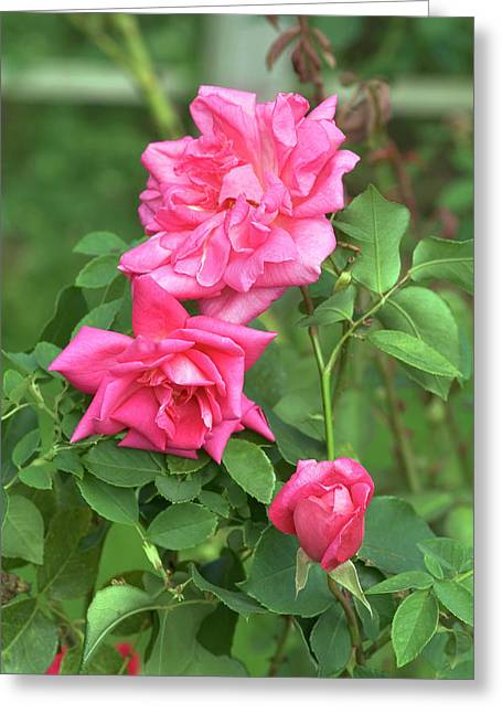 Rose (rosa 'freiher Von Marshall') Greeting Card