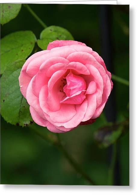 Rose (rosa 'galway Bay') Flower Greeting Card