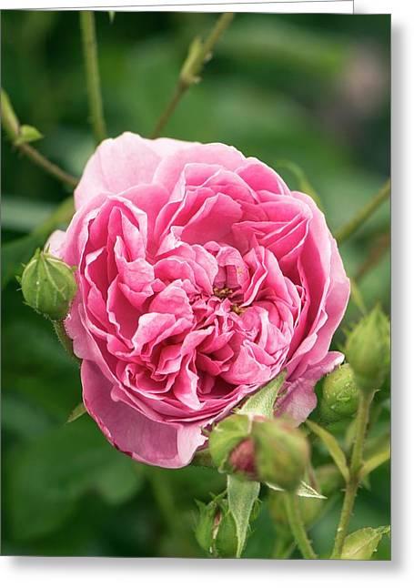 Rose (rosa 'harlow Carr' ) Flower Greeting Card