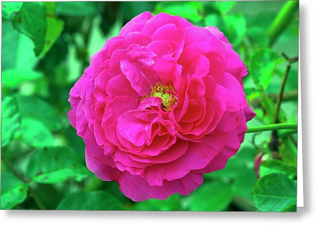 Rose (rosa 'karlsruhe') Greeting Card by Neil Joy/science Photo Library