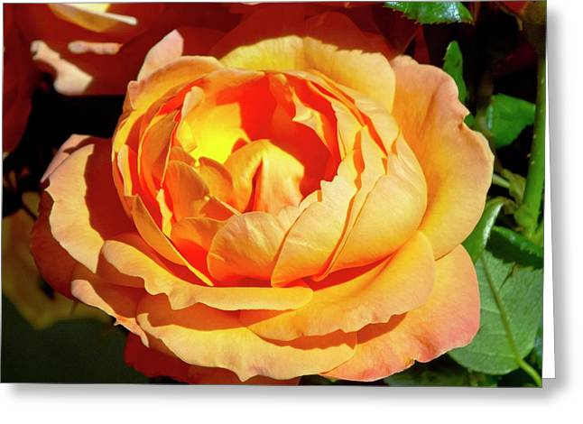 Rose (rosa 'lady Marmalade ') Flower Greeting Card by Ian Gowland