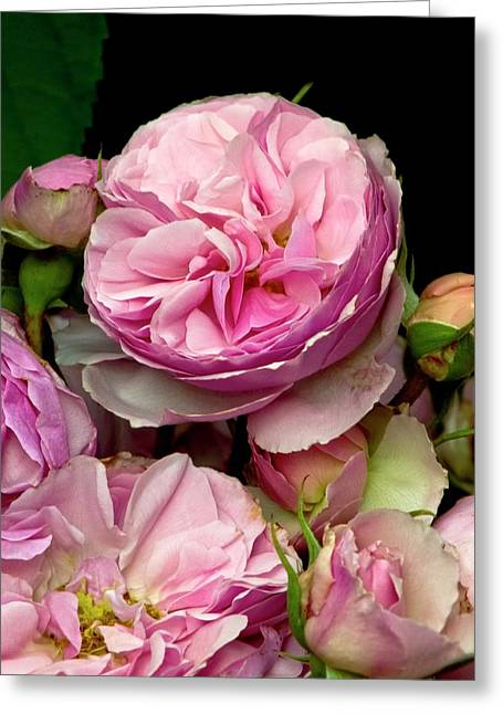 Rose (rosa 'the Enchantress') Flowers Greeting Card by Ian Gowland