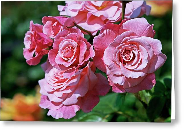 Rose (rosa 'tickled Pink') Greeting Card