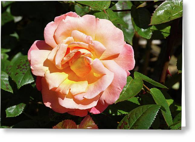 Rose (rosa Troika = 'poumidor') Greeting Card