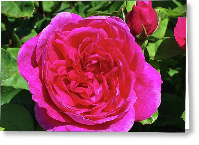 Rose Sophy's Rose (rosa 'auslot') Greeting Card by Neil Joy
