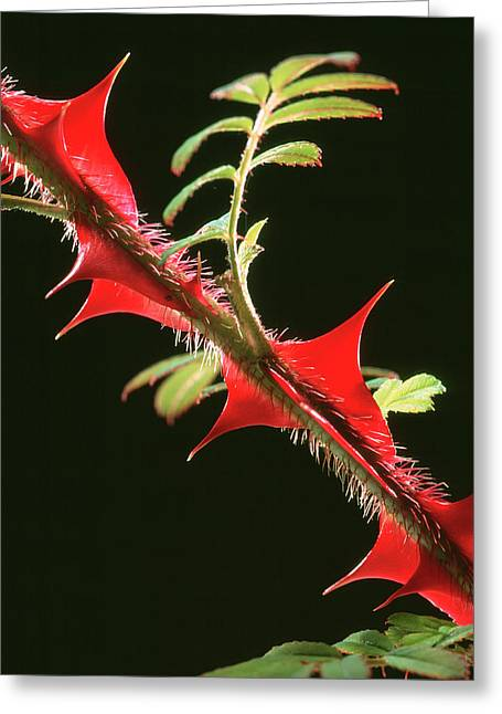 Rose Thorns Greeting Card by Sheila Terry/science Photo Library