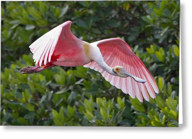 Roseate Spoonbill Flyer Greeting Card by Phil Stone
