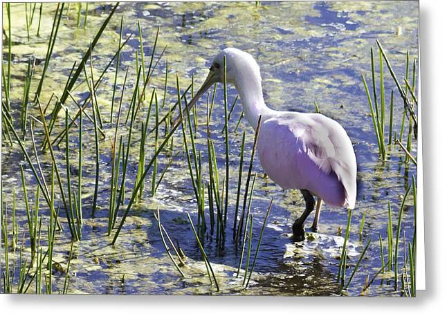 Roseate Spoonbill IIi Greeting Card