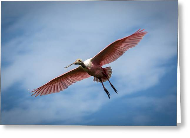 Roseate Spoonbill In Flight Greeting Card by Gregory Daley  PPSA