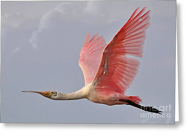 Greeting Card featuring the photograph Roseate Spoonbill In Flight by Kathy Baccari