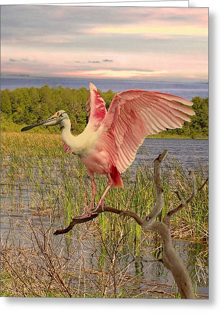 Roseate Spoonbill At Lake St. George Greeting Card by Schwartz