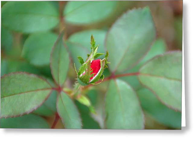 Rosebud Greeting Card by Aimee L Maher Photography and Art Visit ALMGallerydotcom