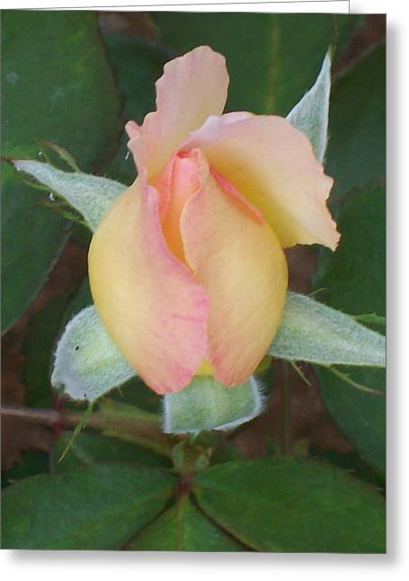 Greeting Card featuring the photograph Rosebud by Belinda Lee