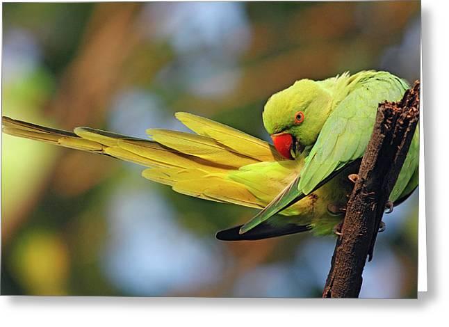 Roseringed Parakeet Preening,keoladeo Greeting Card