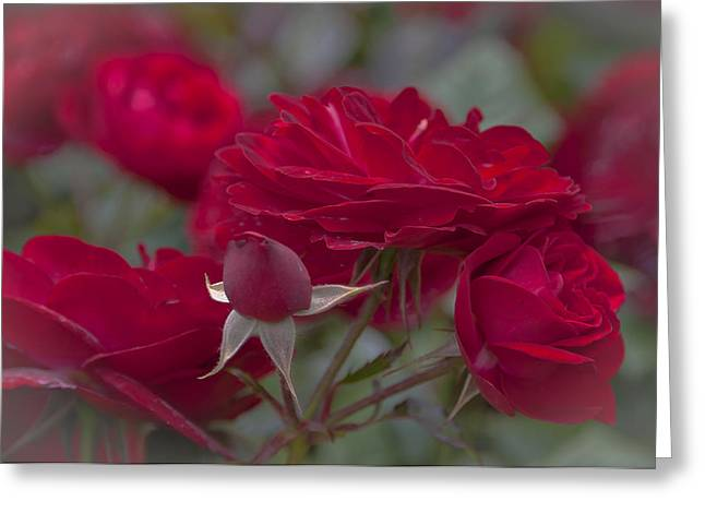 Roses And Roses Greeting Card