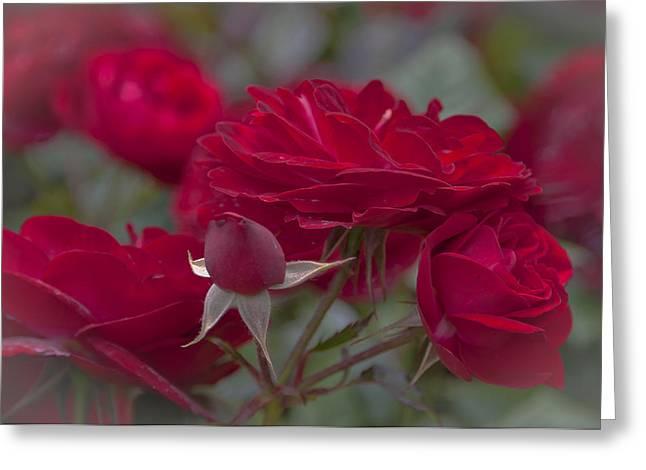 Roses And Roses Greeting Card by Maj Seda