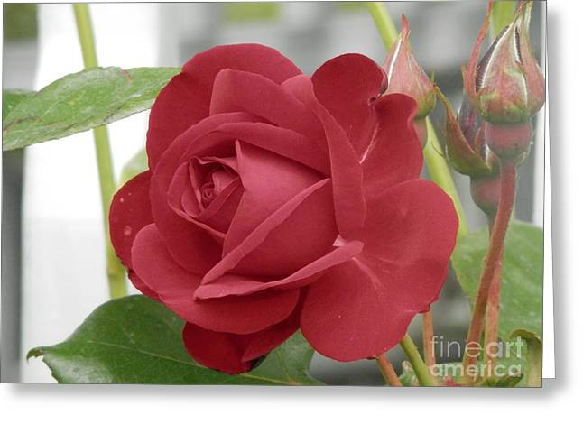 Roses Are Red Greeting Card by Margaret McDermott