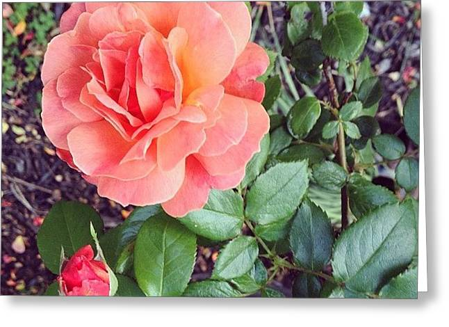 Roses Are Salmon...wait, What!? Greeting Card by Amber Flowers