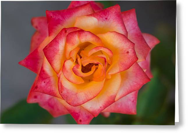 Roses From My Garden Greeting Card