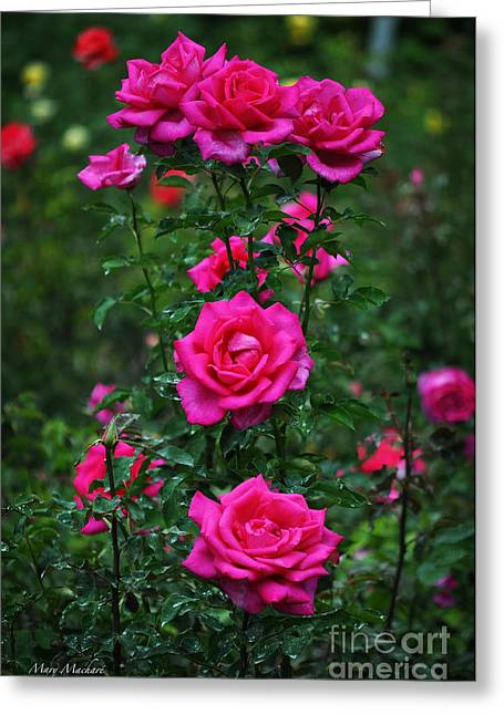 Roses In The Garden Greeting Card by Mary Machare