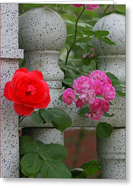 Roses On The Fence Greeting Card by Qing