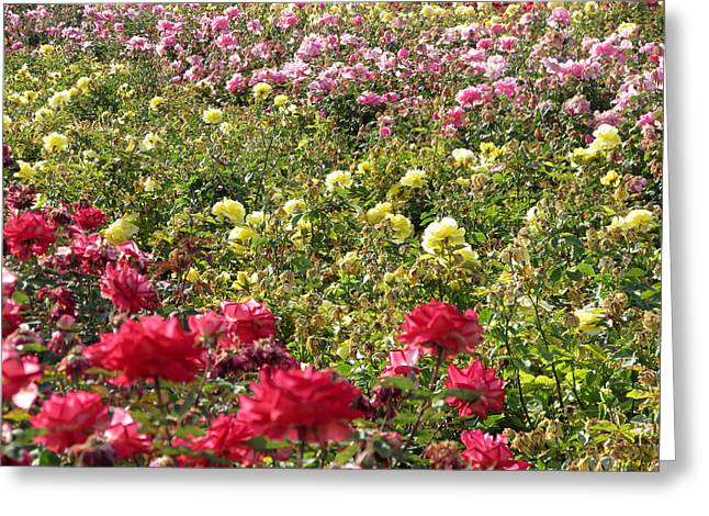 Greeting Card featuring the photograph Roses Roses Roses by Laurel Powell