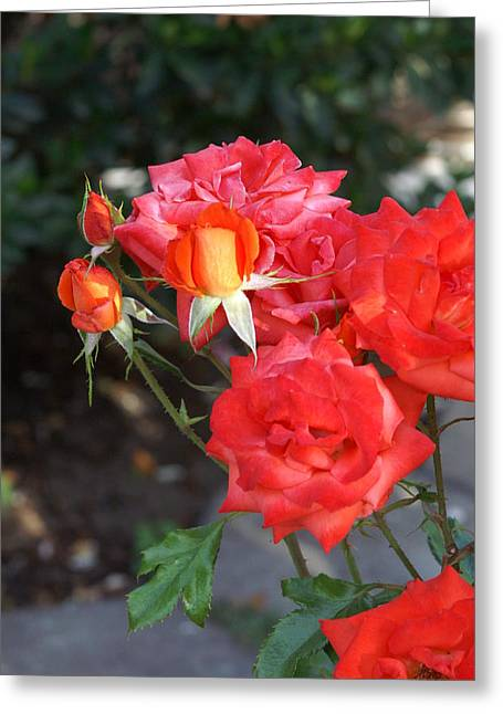 Roses- Rosey- All Red-almost Greeting Card by Thomas D McManus