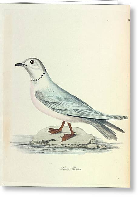 Ross's Gull Greeting Card by Natural History Museum, London