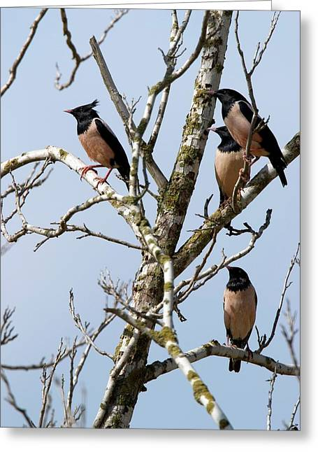 Rosy Starling (sturnus Roseus) Greeting Card by Photostock-israel