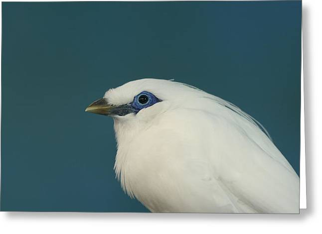 Greeting Card featuring the photograph Rothchild Mynah by Larry Trupp